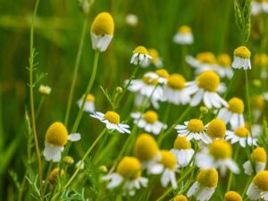 Chamomile For Anxiety