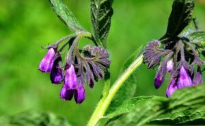 Comfrey For Acne