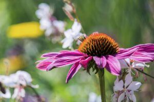 Echinacea For Acne