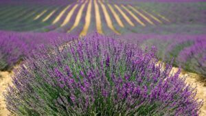 Lavender for anxiety and depression