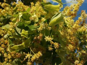 Linden Flower For Anxiety