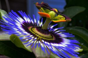 Passion Flower For Anxiety And Depression