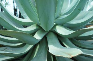 Aloe Vera And Alzheimer's