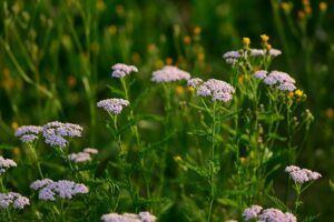 Yarrow For Acne