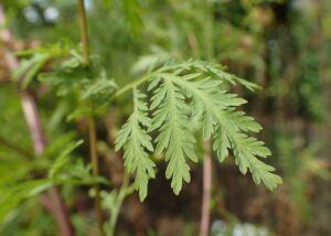 Sweet Wormwood For Breast Cancer