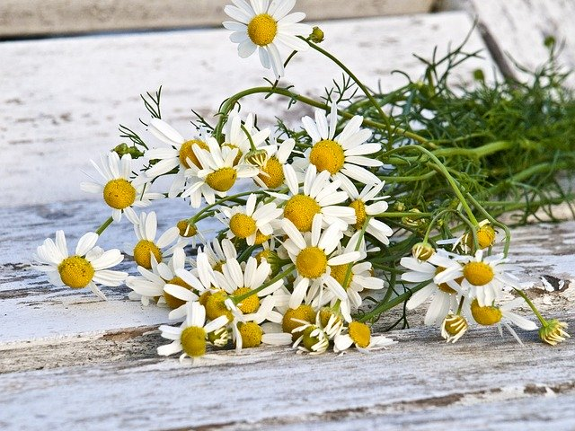 what is chamomile essential oil