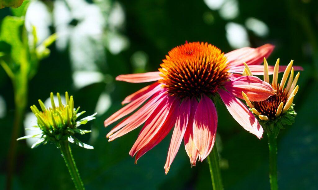 Echinacea For Cold