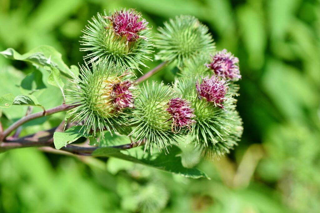 Burdock Root For Cancer