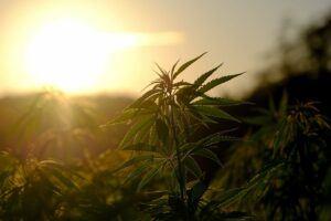 Cannabis Cancer Treatmetn