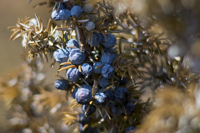 what is juniper berry essential oil