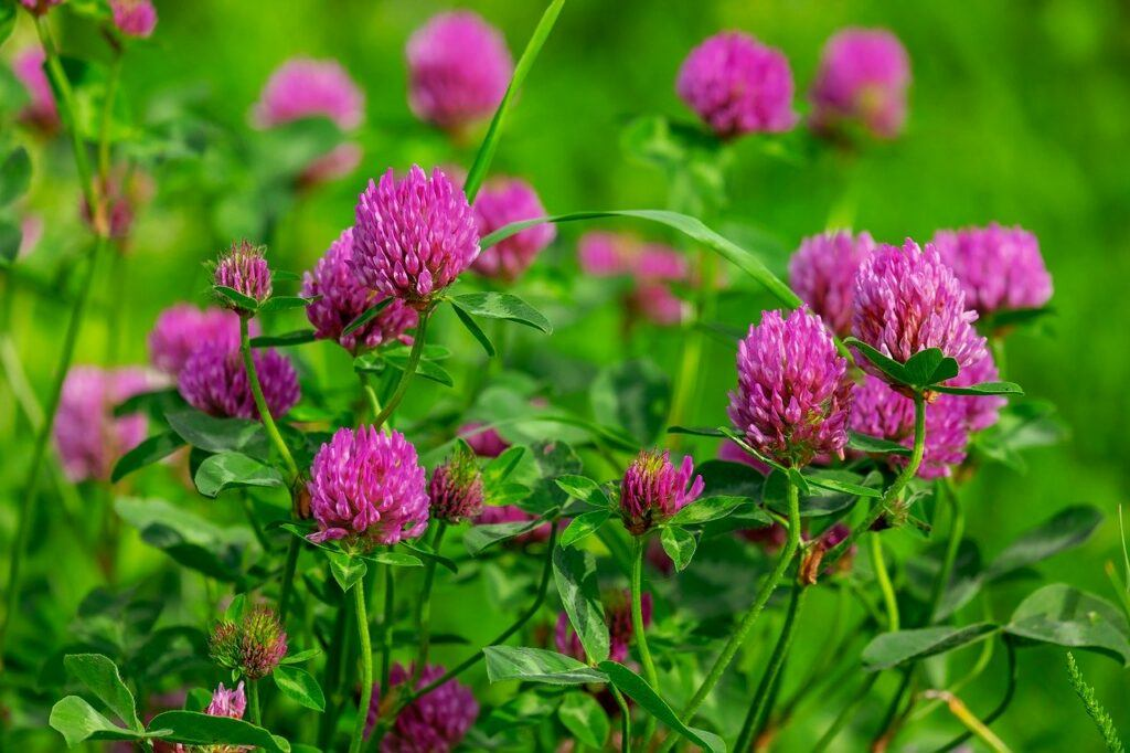 Red Clover For Cancer