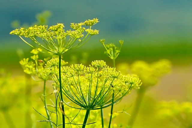 what is fennel essential oil