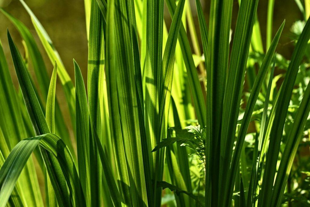 Calamus Root For Diabetes