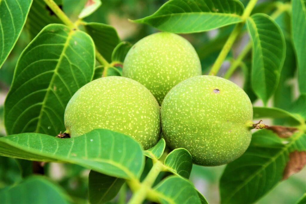 Green Walnut Husks Health Benefits