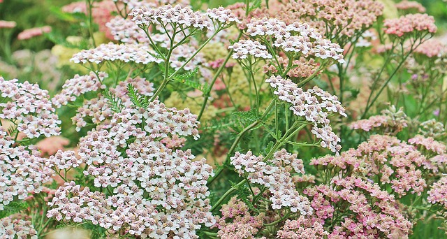 what is yarrow essential oil