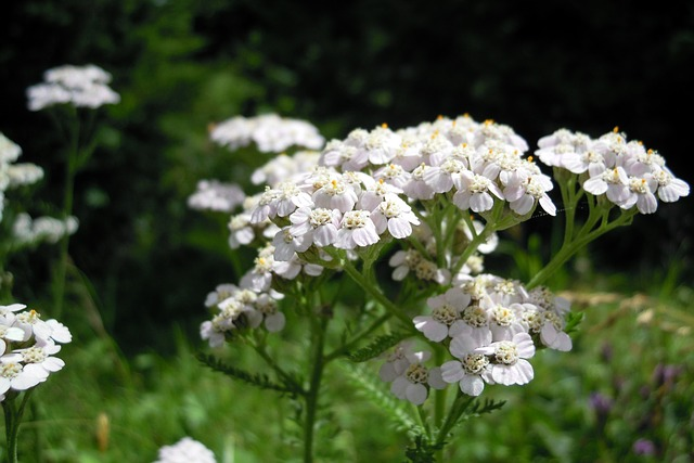 yarrow flower benefits for better oral health