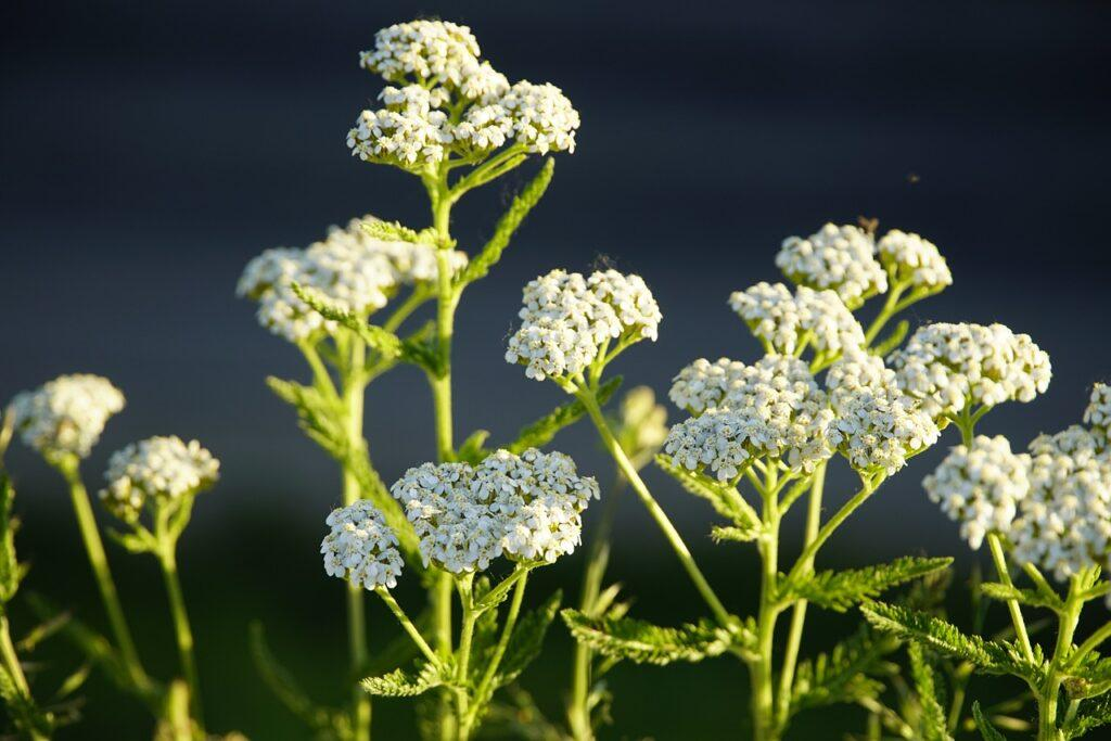 Yarrow For Treating Cold